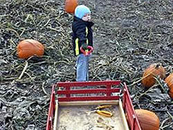 Picking pumpkins from the pumpkin field.